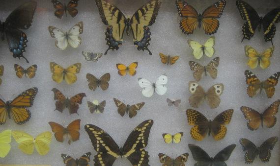 Butterflies of St. Louis