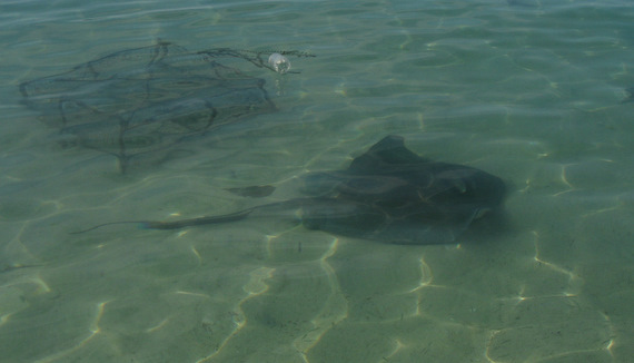 A sting ray came by to say hi 2 feet from shore