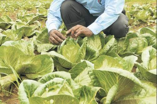 Jamaican Farmers